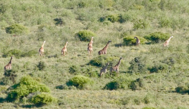 Giraffes grazing in a Wildlife Management Area for conservation in norhtern Tanznia_1_photo by Bill Snaddon